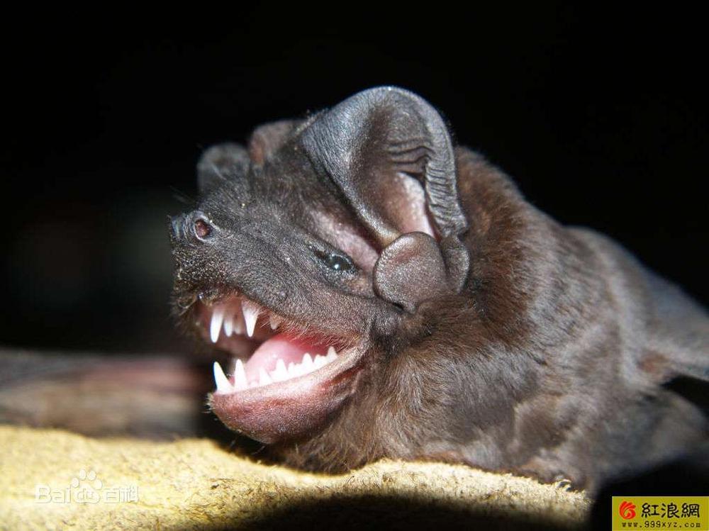 吸血蝙蝠纹身图案 可爱宝宝图片